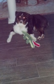 "Dakota enjoying the new floors and his ""Gator"""